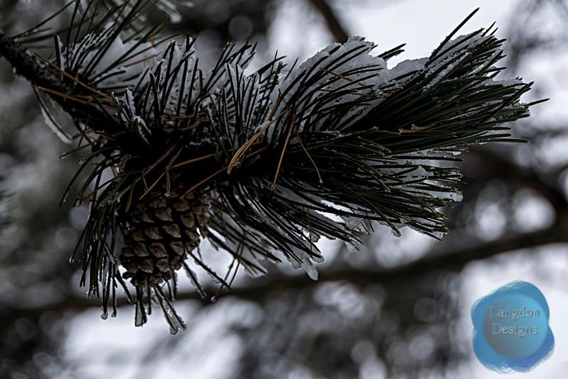 Cold Pine Cone