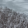 Snow Covered Wild Grass
