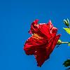 Sea Hibiscus Flower in the Sky