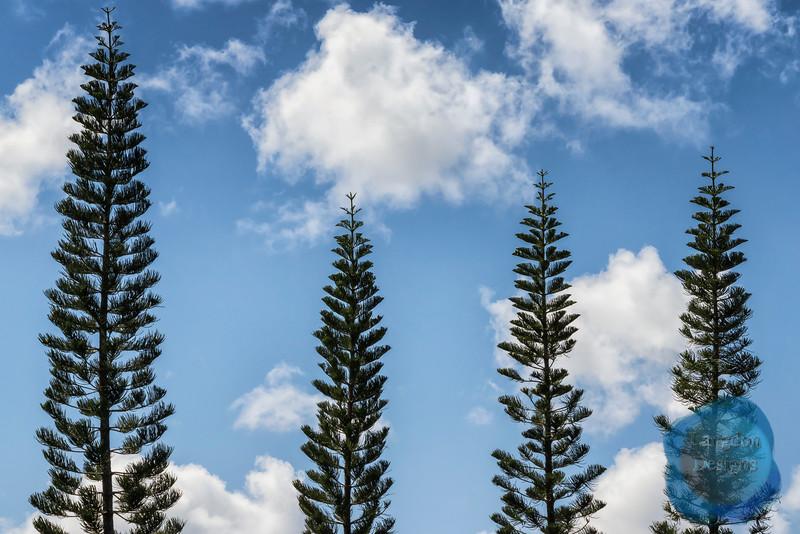 Norfolk Island Pines in the Sky