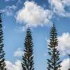 Norfolk Island Pines in the Sky