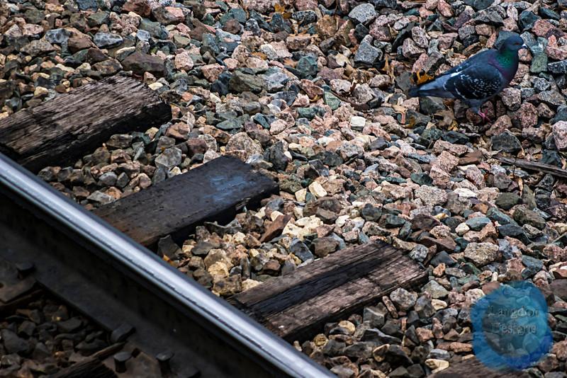 Jail Bird Hops the Tracks