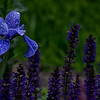 Blue Flower with Raindrops