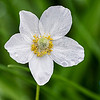 White Flower with Raindrops
