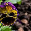 Viola Tricolor Burst