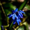 Blue Spring Flowers