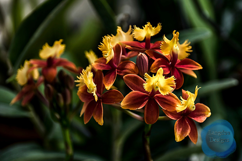 Orchid Epidendrum