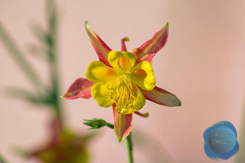 Red Columbine in Bloom