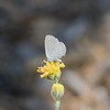 Checkered White Butterly on Button Brittlebush