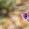 Dalea Purpurea