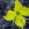 Camissoniopsis Pallida