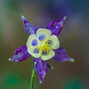 Front View of a Aquilegia Caerulea