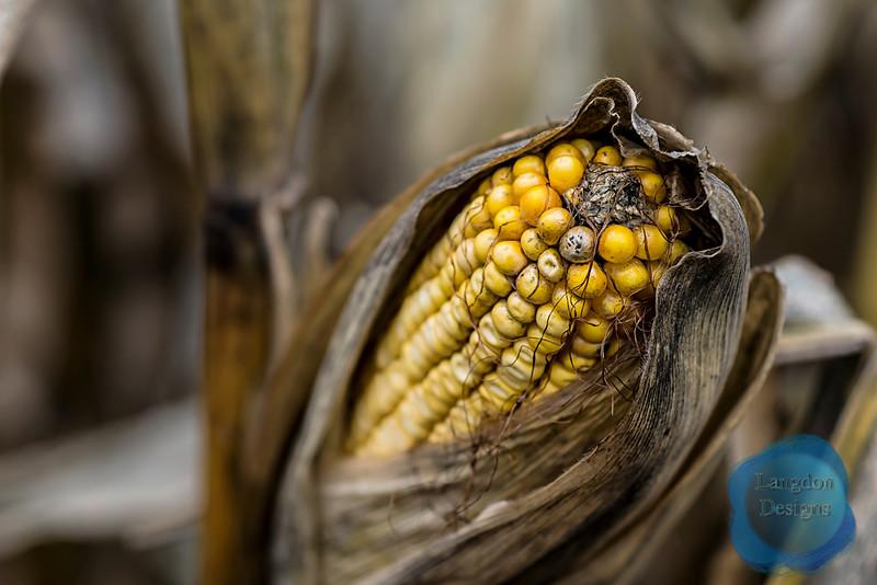 Exposed Corn Husk