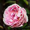 Morden Blush Canadian Shrub Rose