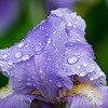 Purple Flower with Raindrops