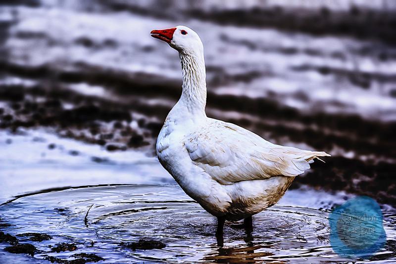 Ducky Splish Spash