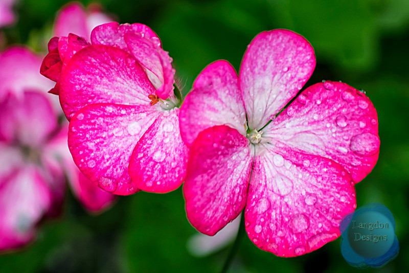 Pink Flowers with Raindrops