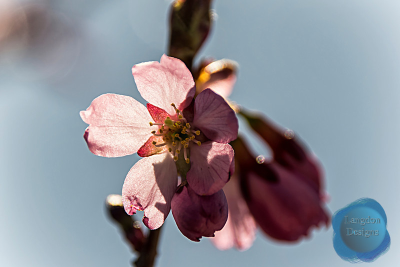 Dream Catcher Ornamental Flowering Cherry