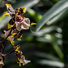 Oncostele Wildcat Orchid