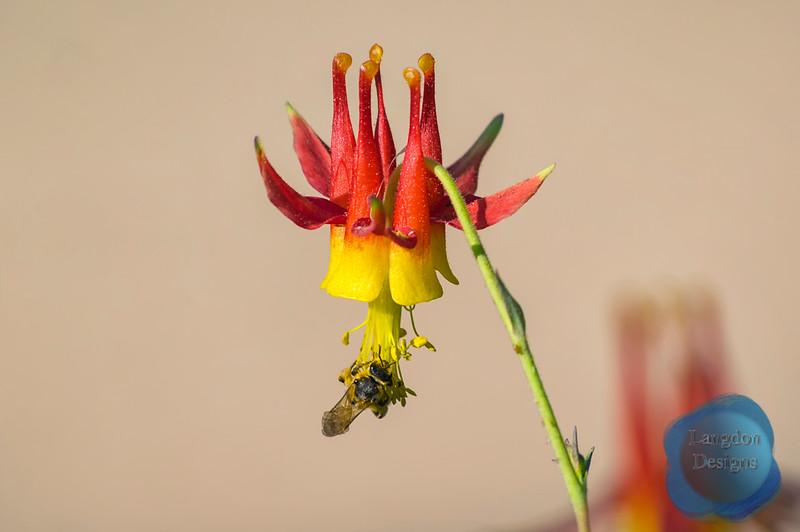 Pollination of Aguilegia Canadensis