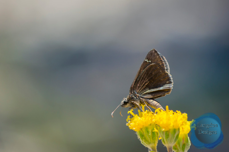 Profile of a Meridian Duskywing