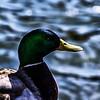 Mallard Duck Portrait