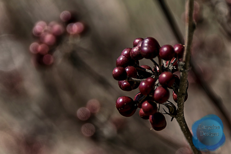Small-Flowered Grewia Berries