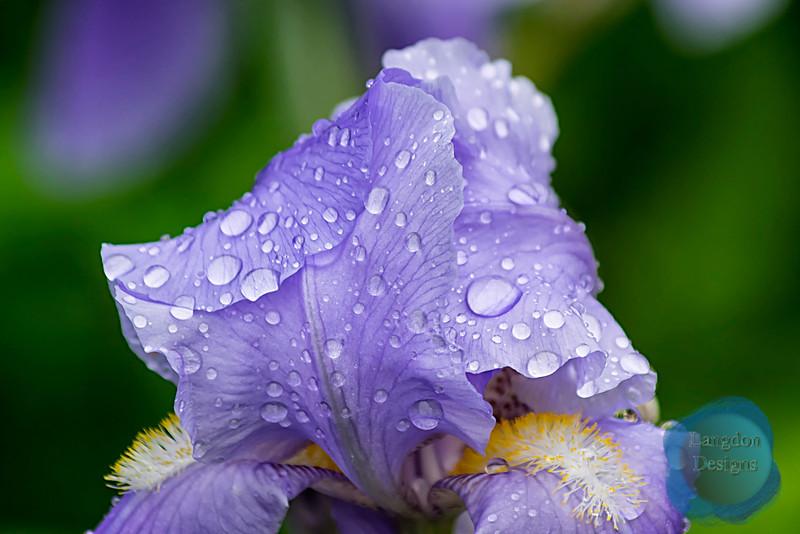 Purple Flower with Raindrops