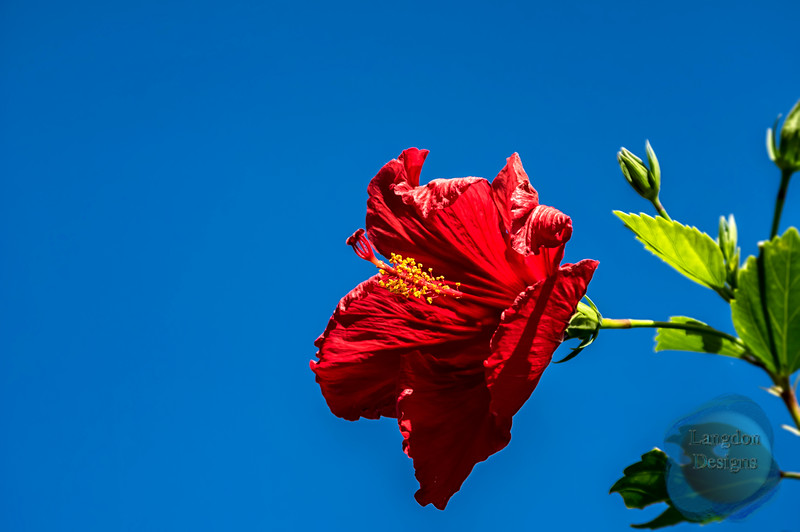 Sea Hibiscus Flower in the Sky