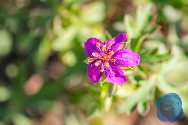 Anthers of a Pineywoods Geranium