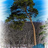 Wind Bent Tree
