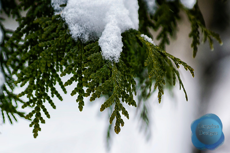 Evergreens in Snow