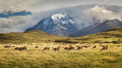 Chile, Patagonia: Guanacos graze in Torres del Paine National Park.