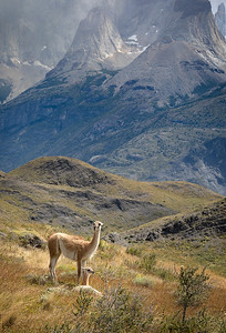 Chile, Patagonia: A mother guanaco watches over her baby as it rests at the foot of the mountains in Torres del Paine National Park.