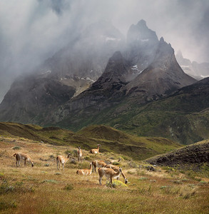 Chile, Patagonia: Guanacos at the foot of the mountains in Torres del Paine National Park.