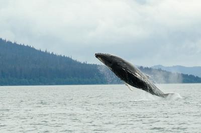 Humpback Whales #2, Juneau Alaska