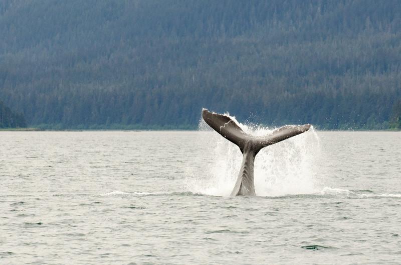 Humpback Whales #7, Juneau Alaska