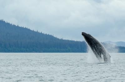 Humback Whales #1, Juneau Alaska