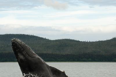 Humpback Whales #4, Juneau Alaska