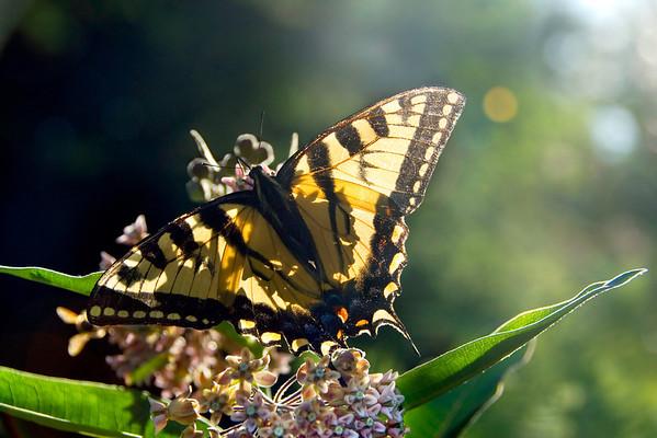 Swallowtail Shadows