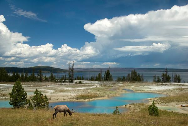 Elk in West Thumb Geyser Basin