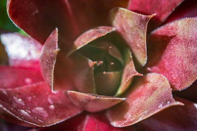 Red Sempervivum Macro