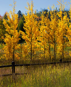 Row of Aspens Aglow
