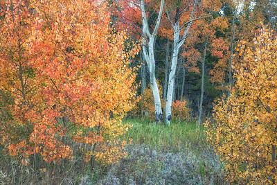 Aspens Standing Out