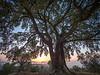 300+ Year Old Oak Tree at sunrise, Tuscany, Italy