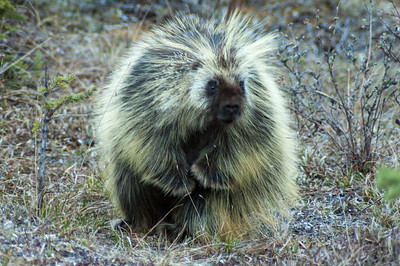Porcupine #2 - Brooks Range Mountains, Alaska