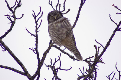 Hawk Owl #1 - Brooks Range Mountains, Alaska