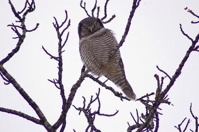 Hawk Owl #1 - Brooks Range Mountains, Alaska