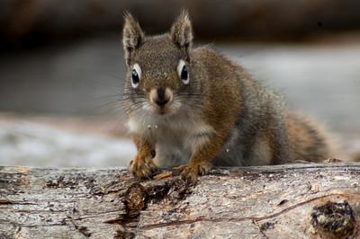 Red Squirrel #1 - Brooks Range Mountains, Alaska