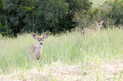 Black Tail Deer, Sonoma County, CA
